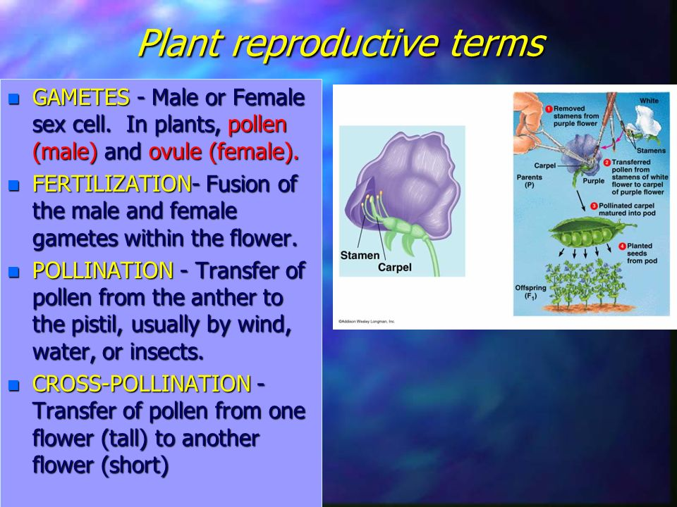 Plant reproductive terms n GAMETES - Male or Female sex cell.