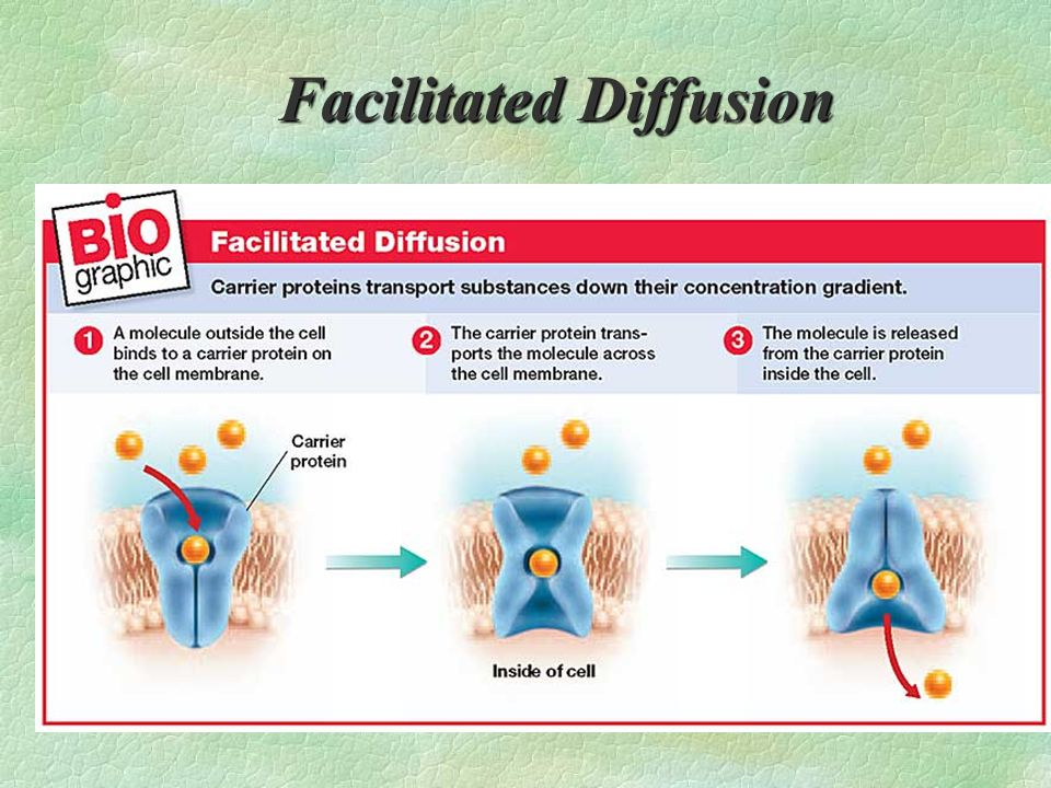 FACILITATED DIFFUSION : §PROTEINS PROVIDE CONVENIENT OPENINGS FOR PARTICLES TO PASS THROUGH - SUGARS AND AMINO ACIDS ARE MOVED THIS WAY... § THIS SPEE