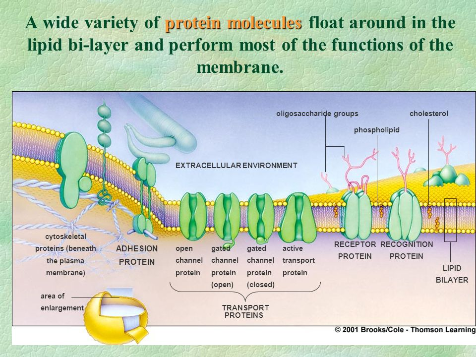 What is the Fluid Mosaic Model of the plasma membrane structure? What is the Fluid Mosaic Model of the plasma membrane structure? open channel protein