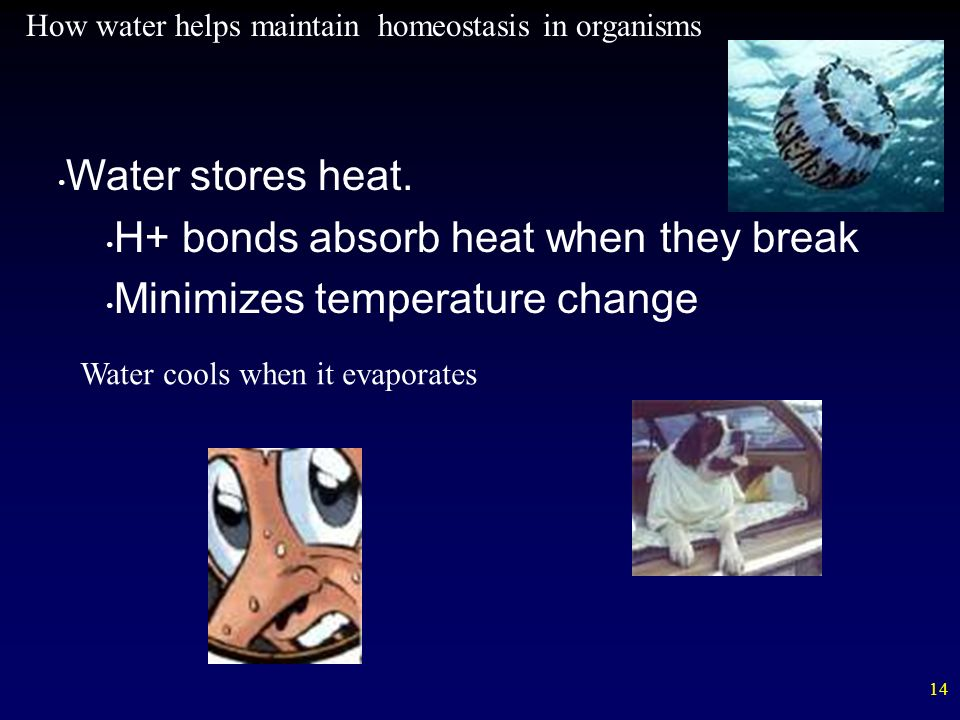 14 Water stores heat. H+ bonds absorb heat when they break Minimizes temperature change How water helps maintain homeostasis in organisms Water cools