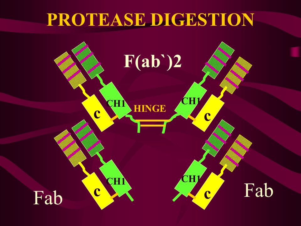 PROTEASE DIGESTION c c CH1 c c CH3 HINGE F(ab`)2 Fab