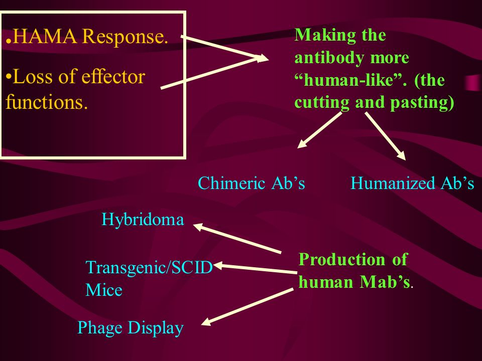 . HAMA Response. Loss of effector functions. Making the antibody more human-like. (the cutting and pasting) Production of human Mabs. Chimeric AbsHuma