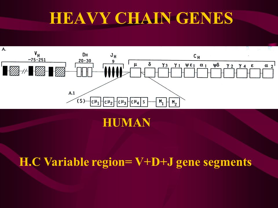 HEAVY CHAIN GENES HUMAN H.C Variable region= V+D+J gene segments