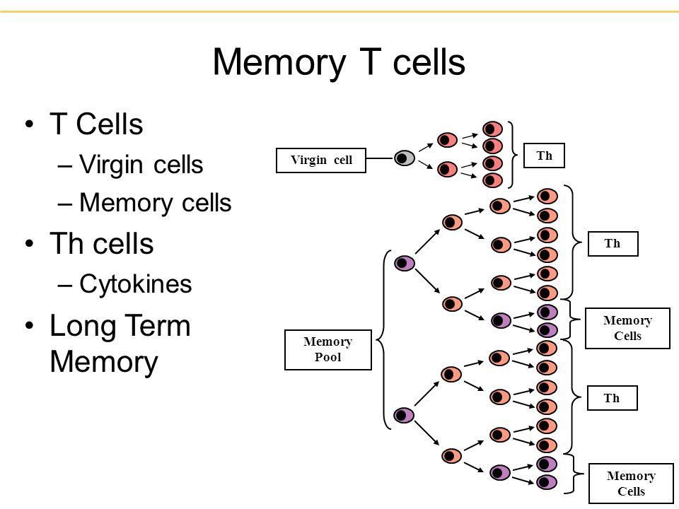 Memory T cells Th Memory Cells Th Memory Cells Memory Pool Virgin cell T Cells –Virgin cells –Memory cells Th cells –Cytokines Long Term Memory