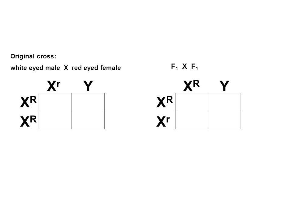 XrXr Y XRXR XRXR XRXR Y XRXR XrXr Original cross: white eyed male X red eyed female F 1 X F 1