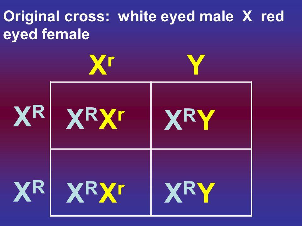 XrXr Y XRXR XRXR XRXR XrXr XRXR XrXr XRXR Y XRXR Y Original cross: white eyed male X red eyed female