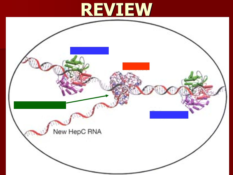 REVIEW Replication fork