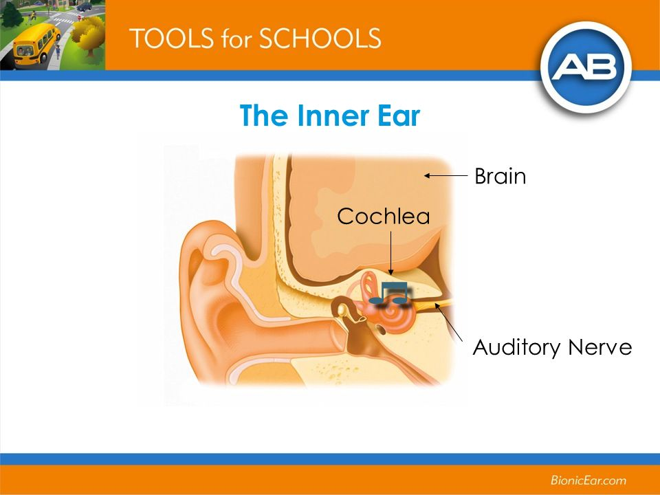 Cochlea Auditory Nerve Brain The Inner Ear