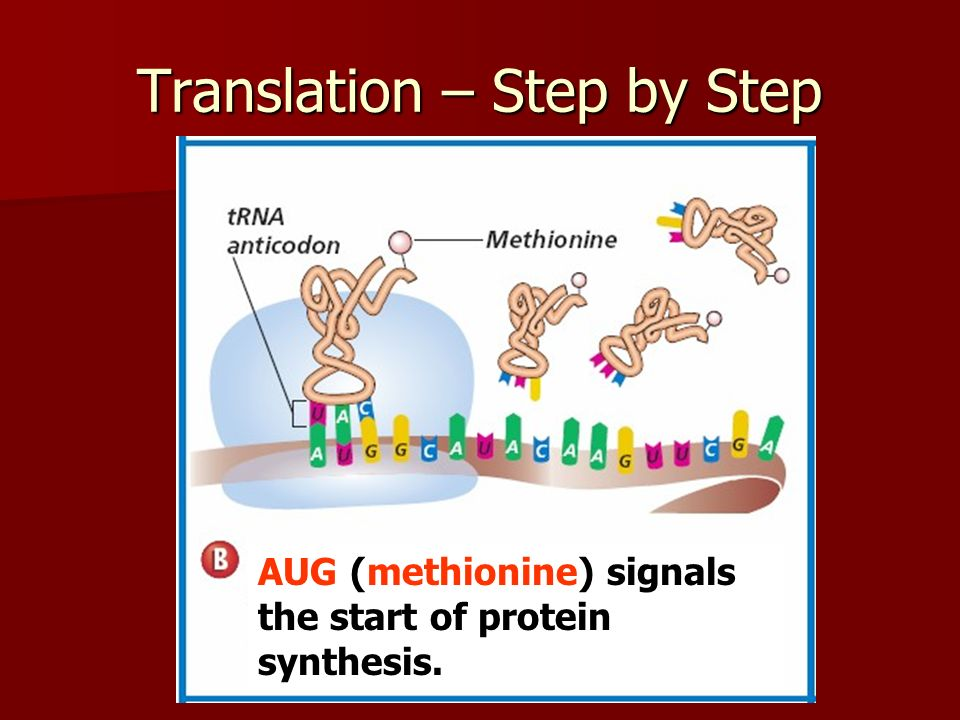 Translation – Step by Step AUG (methionine) signals the start of protein synthesis.