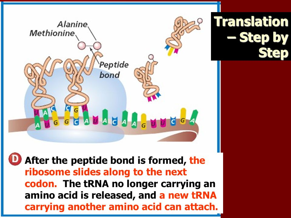 After the peptide bond is formed, the ribosome slides along to the next codon.