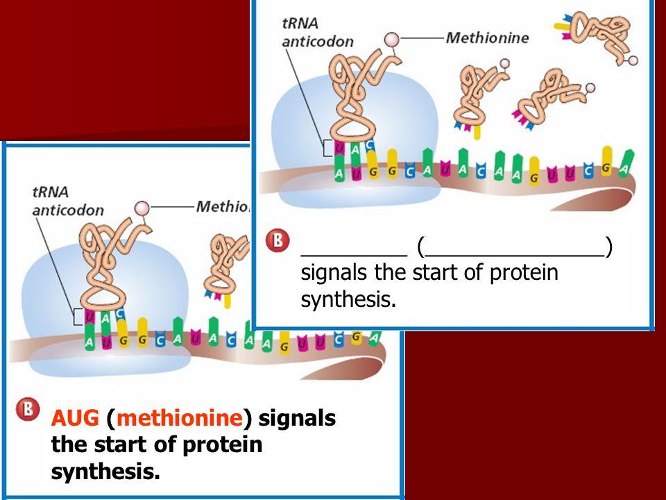AUG (methionine) signals the start of protein synthesis. _________ (_______________) signals the start of protein synthesis.