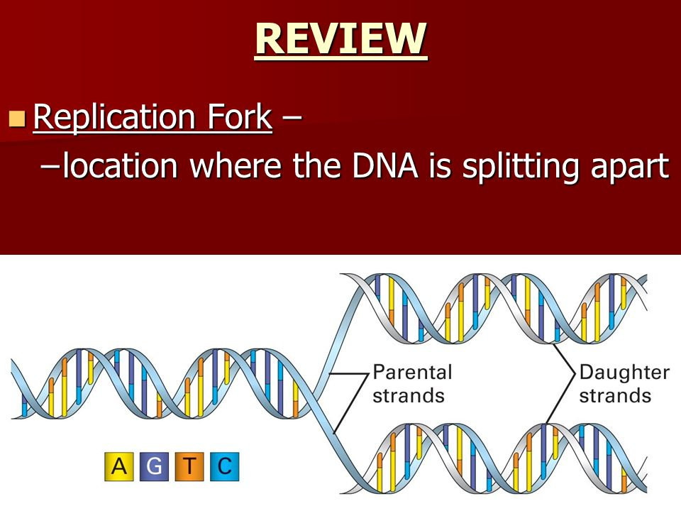 Replication Fork – Replication Fork – –location where the DNA is splitting apart REVIEW