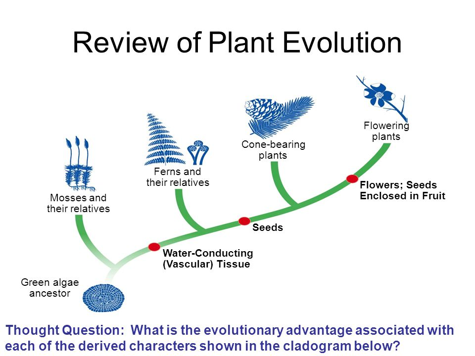 Review of Plant Evolution Thought Question: What is the evolutionary advantage associated with each of the derived characters shown in the cladogram b