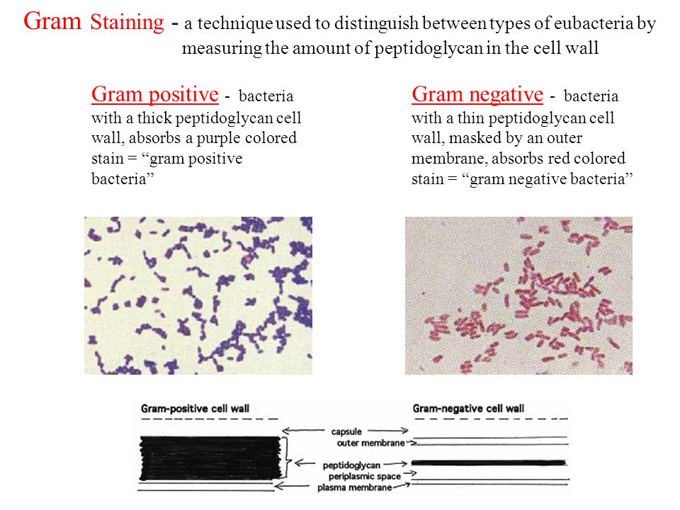 Gram Staining - a technique used to distinguish between types of eubacteria by measuring the amount of peptidoglycan in the cell wall Gram positive -