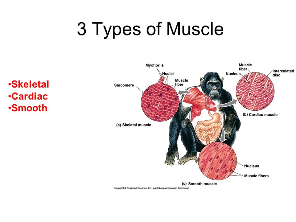The Muscular System 1.Types of Muscle Tissue 2.Muscle Contraction