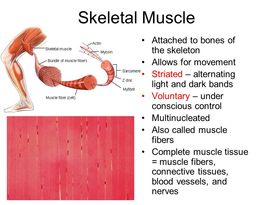Cardiac Muscle The muscle of the heart Main function is to pump blood Striated Involuntary
