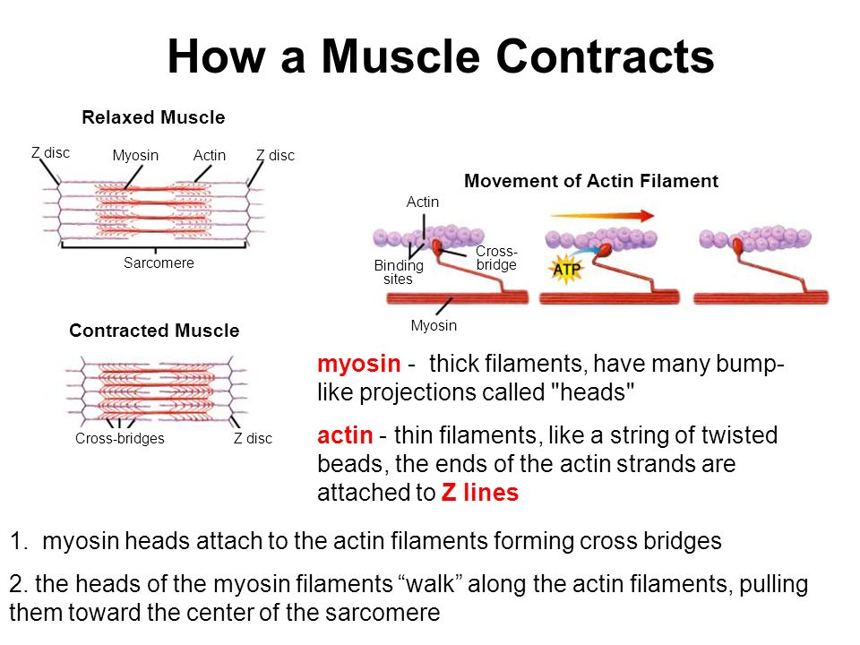 Skeletal muscle Bundle of muscle fibers Actin Myosin Sarcomere Z disc Muscle fiber (cell) Myofibril Muscle cells are bundled together and are surround