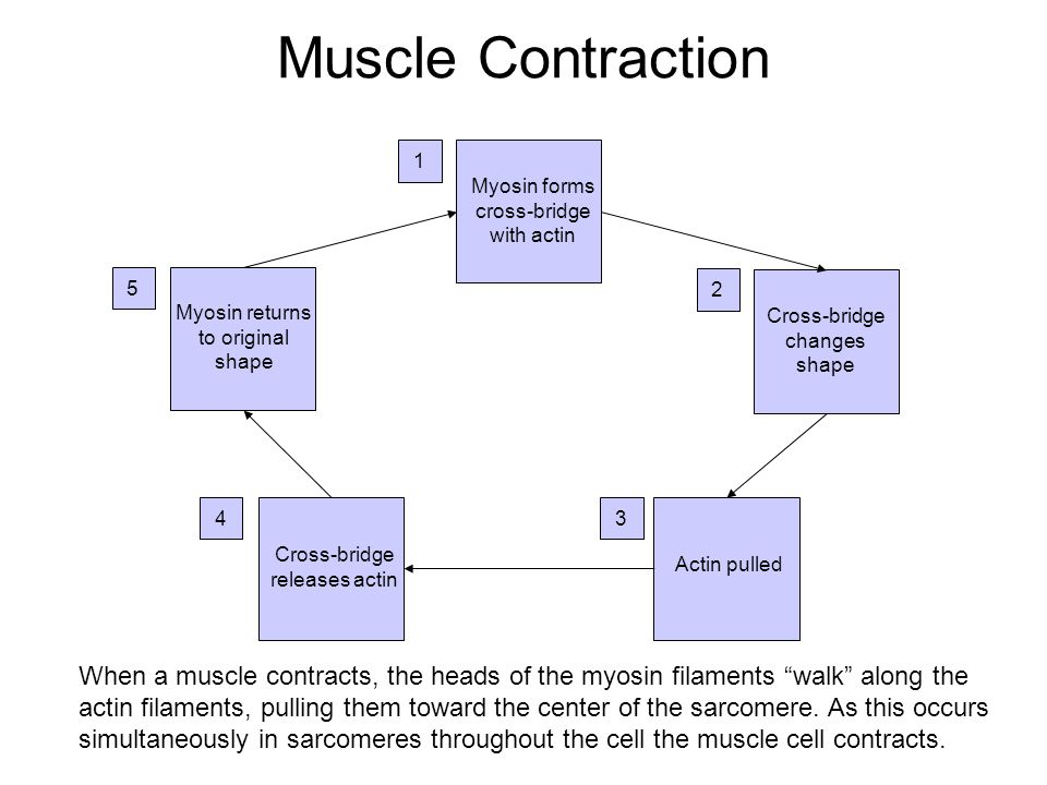 Click on the link below to view a video showing a muscle contract: http://www.3dotstudio.com/zz.html Thought Question: Based on the requirements neces