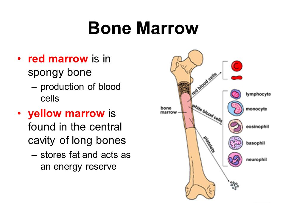 Bone Structure Bone - a solid network of living cells and fibers that are supported by deposits of calcium salts Periosteum – tough layer of fibrous c