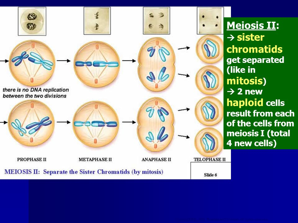 Copyright © by Holt, Rinehart and Winston. All rights reserved. Meiosis II: sister chromatids get separated (like in mitosis ) 2 new haploid cells res
