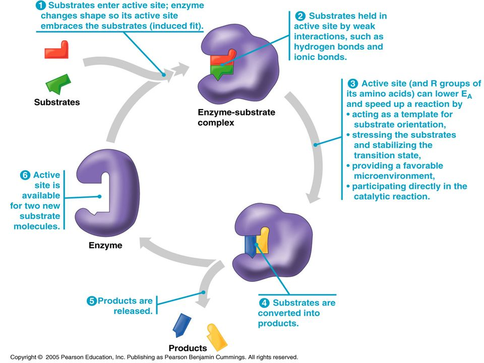 Enzymes The enzyme- substrate complex forms an induced (tight) fit between the enzyme and the substrate at the active site.