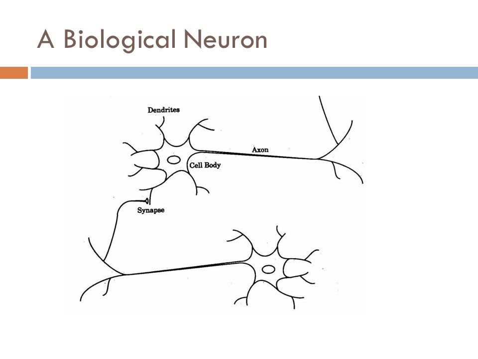 A Biological Neuron