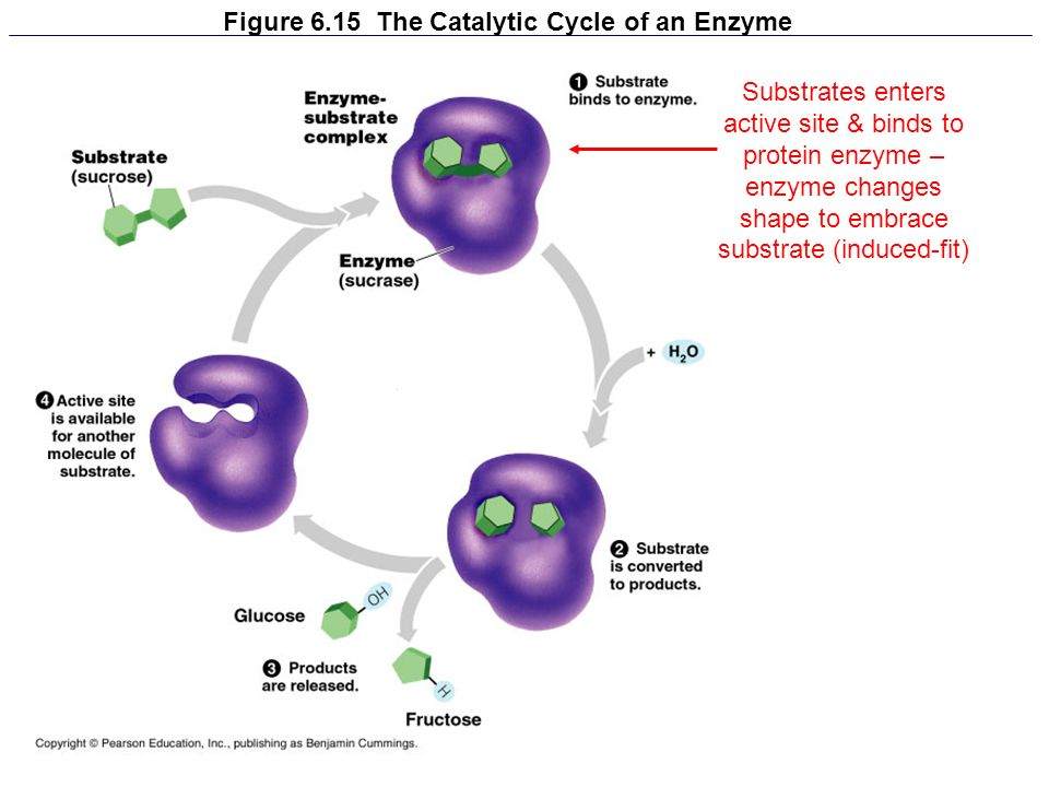 Figure 6.15 The Catalytic Cycle of an Enzyme Substrates enters active site & binds to protein enzyme – enzyme changes shape to embrace substrate (indu