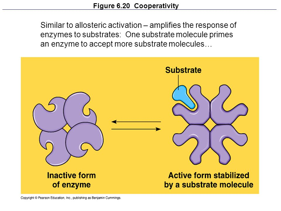 Figure 6.20 Cooperativity Similar to allosteric activation – amplifies the response of enzymes to substrates: One substrate molecule primes an enzyme