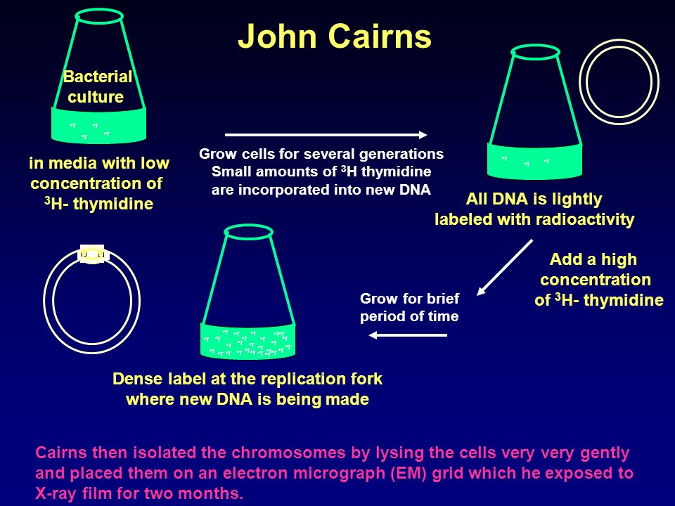 Cairns grew E.coli cells in medium containing [H 3 ]thymidine for varying period of time. He lysed the cell very gently so as not to break the chromos