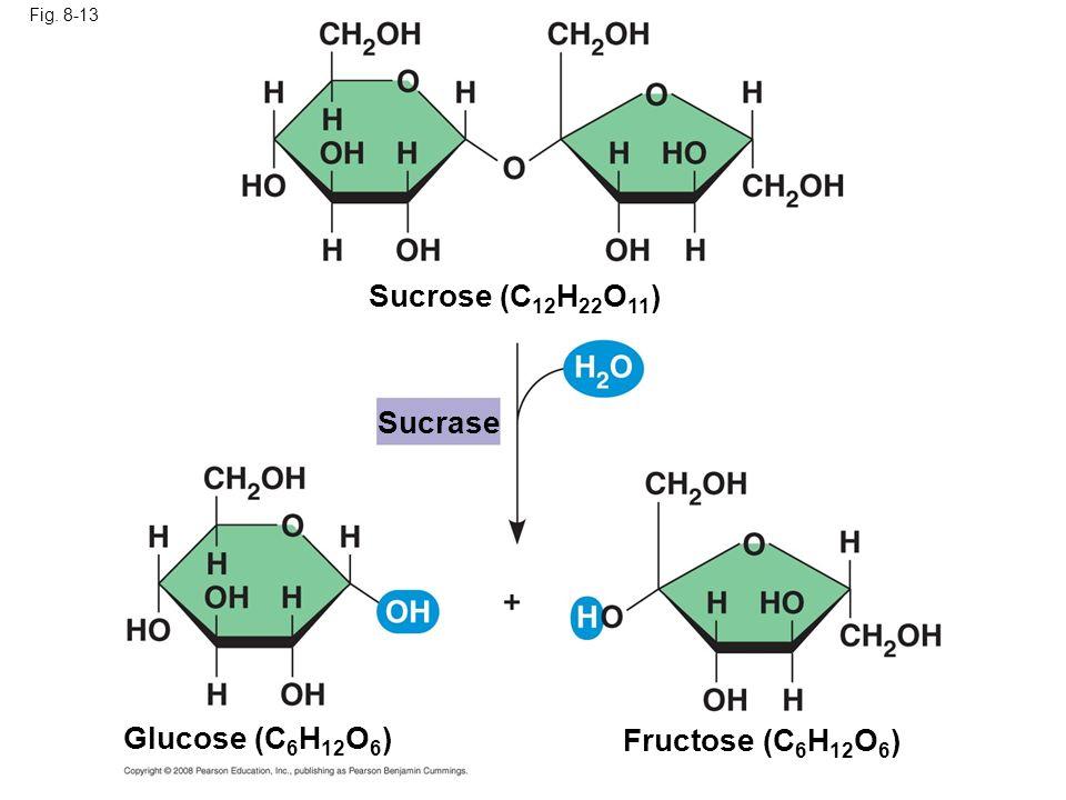 Fig. 8-13 Sucrose (C 12 H 22 O 11 ) Glucose (C 6 H 12 O 6 ) Fructose (C 6 H 12 O 6 ) Sucrase