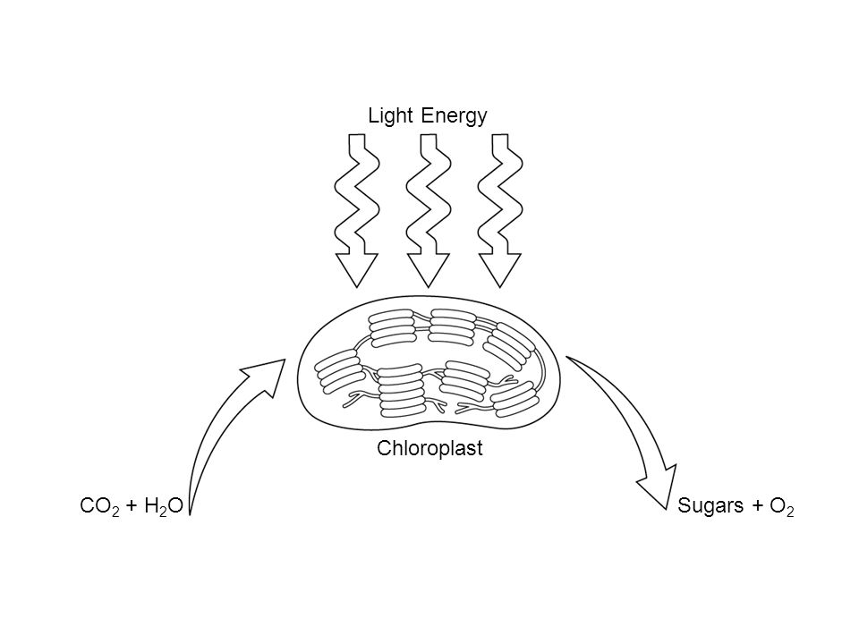 Light Energy Chloroplast CO 2 + H 2 OSugars + O 2 Section 8-2 Photosynthesis: Reactants and Products