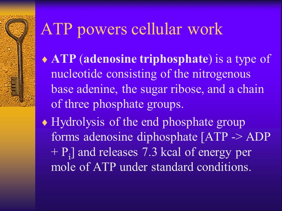 ATP powers cellular work ATP (adenosine triphosphate) is a type of nucleotide consisting of the nitrogenous base adenine, the sugar ribose, and a chai