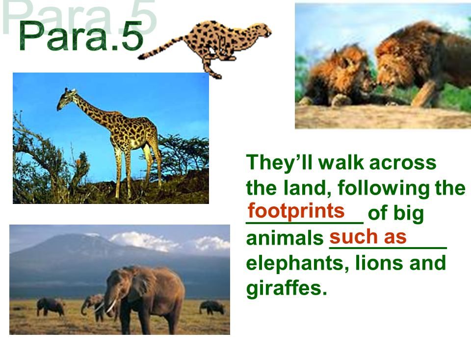 Theyll walk across the land, following the __________ of big animals __________ elephants, lions and giraffes.
