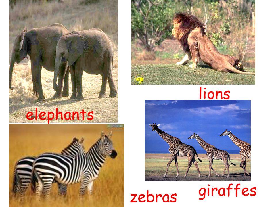 elephants lions giraffes zebras
