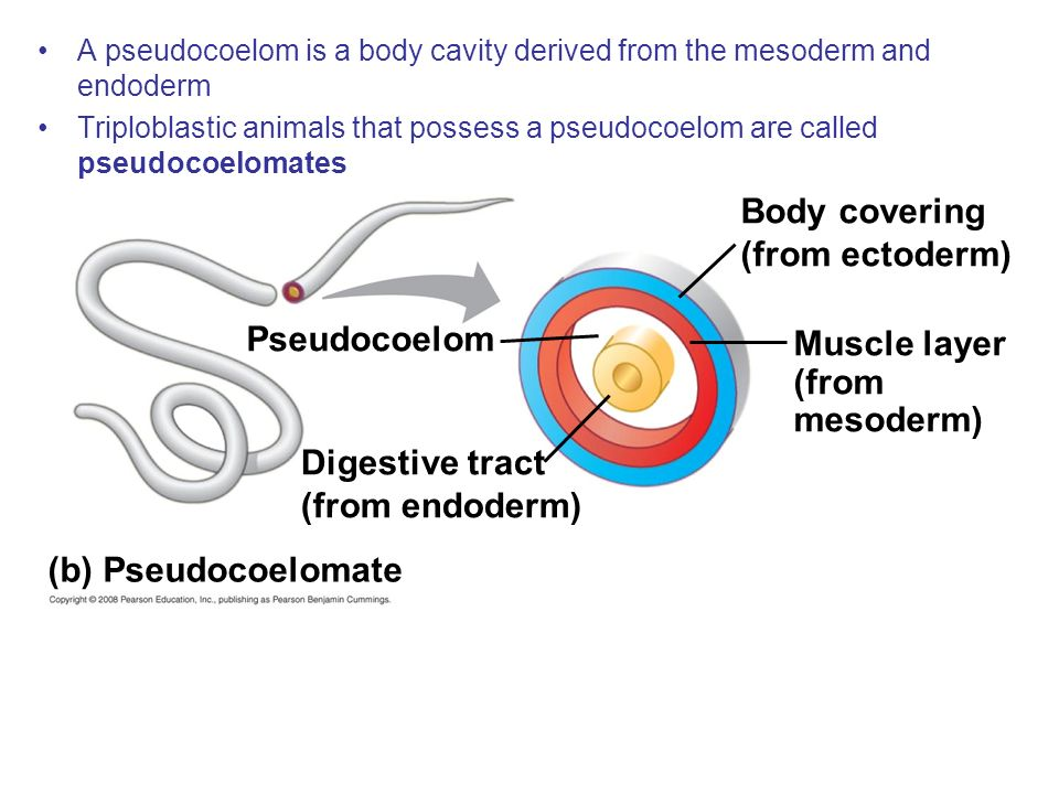 Pseudocoelom Body covering (from ectoderm) Muscle layer (from mesoderm) Digestive tract (from endoderm) (b) Pseudocoelomate A pseudocoelom is a body c