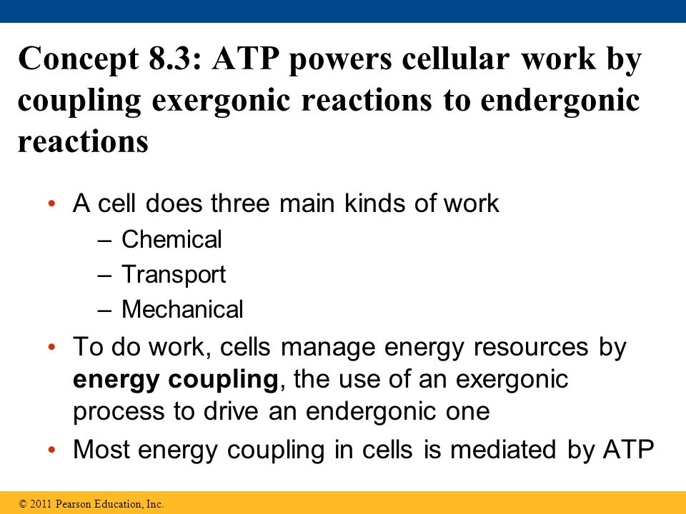 Concept 8.3: ATP powers cellular work by coupling exergonic reactions to endergonic reactions A cell does three main kinds of work –Chemical –Transpor