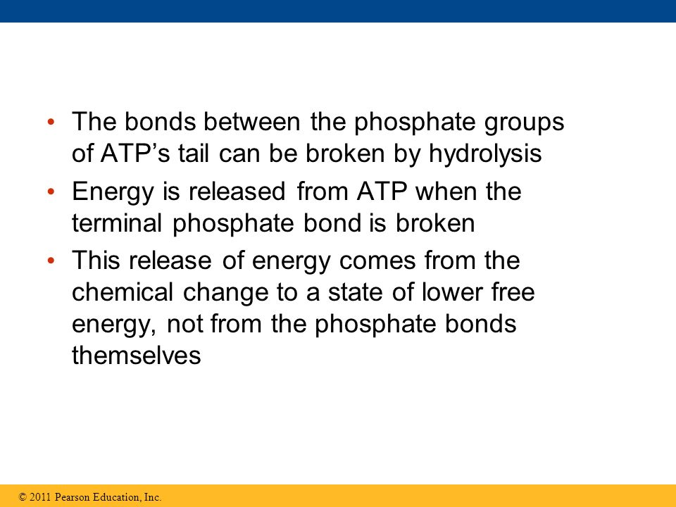 The bonds between the phosphate groups of ATPs tail can be broken by hydrolysis Energy is released from ATP when the terminal phosphate bond is broken