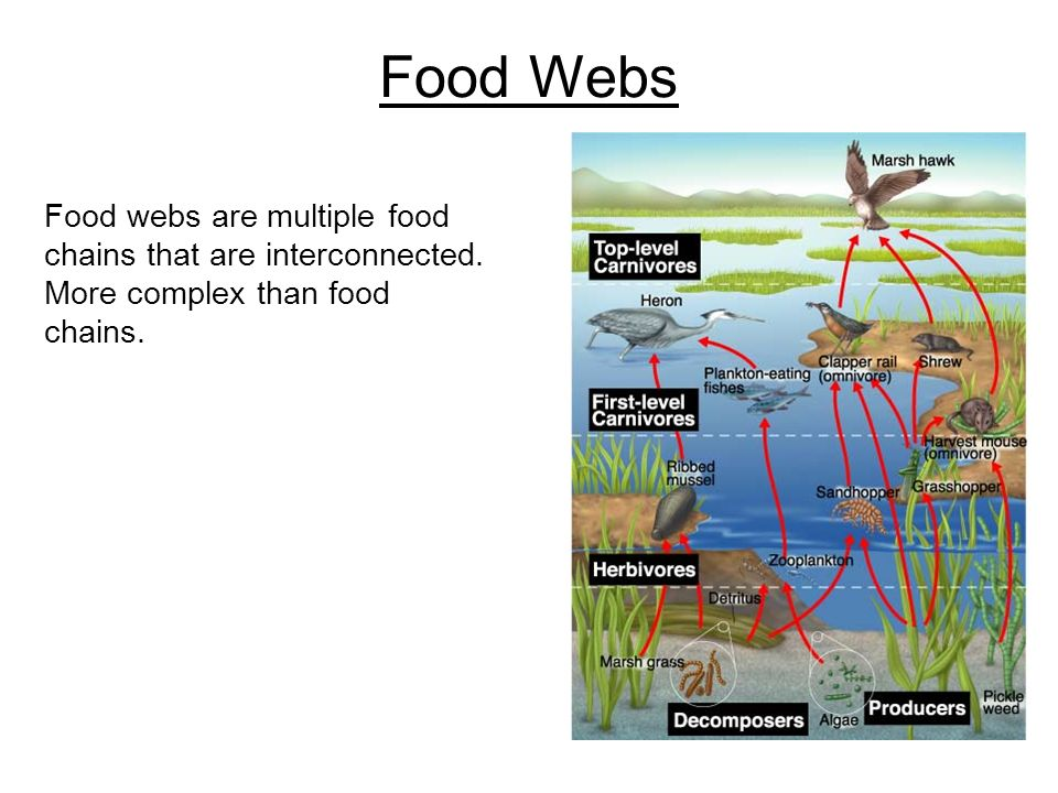 Food Webs Food webs are multiple food chains that are interconnected.
