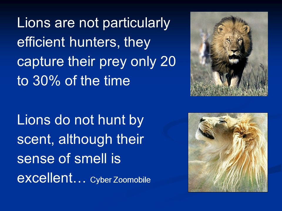 Lions are not particularly efficient hunters, they capture their prey only 20 to 30% of the time Lions do not hunt by scent, although their sense of s