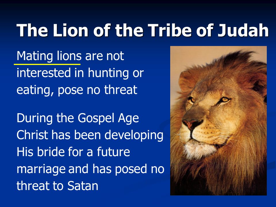 The Lion of the Tribe of Judah Mating lions are not interested in hunting or eating, pose no threat During the Gospel Age Christ has been developing H