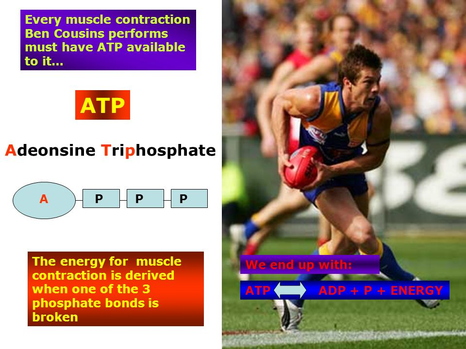 ATP Adeonsine Triphosphate APPP The energy for muscle contraction is derived when one of the 3 phosphate bonds is broken Every muscle contraction Ben Cousins performs must have ATP available to it… ATP ADP + P + ENERGY We end up with:
