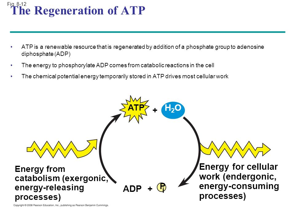 Fig. 8-12 P i ADP+ Energy from catabolism (exergonic, energy-releasing processes) Energy for cellular work (endergonic, energy-consuming processes) AT