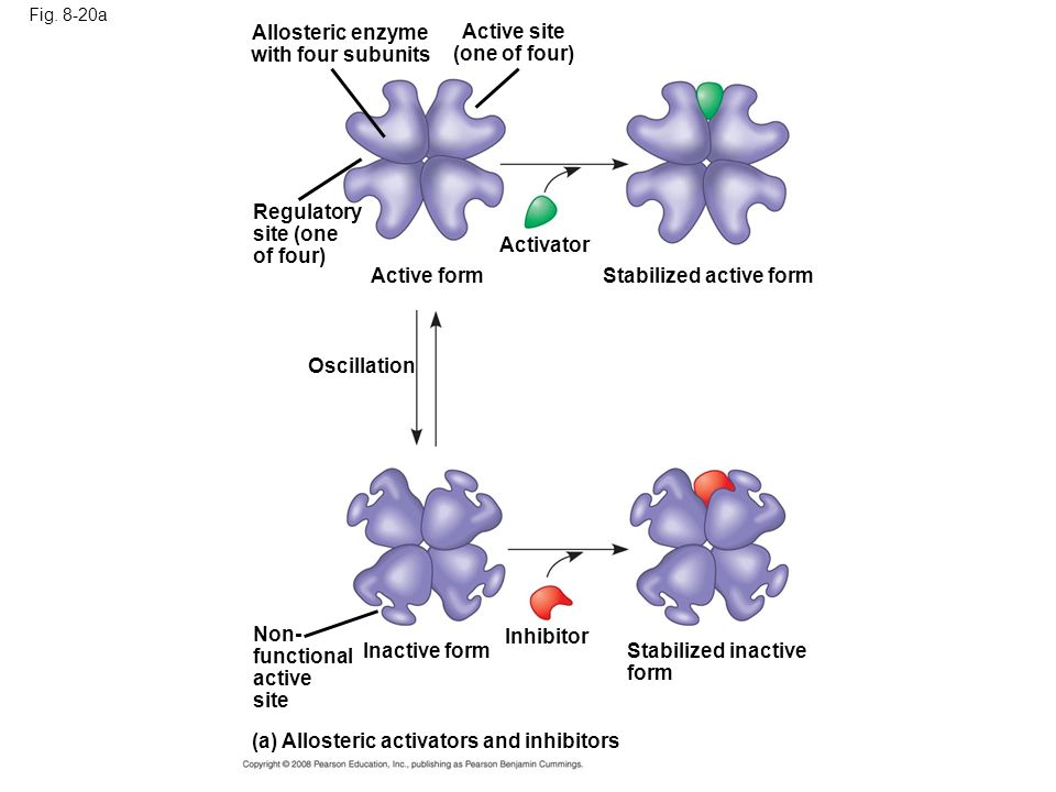 Fig. 8-20a (a) Allosteric activators and inhibitors Inhibitor Non- functional active site Stabilized inactive form Inactive form Oscillation Activator