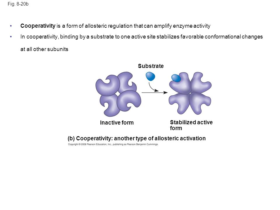 Fig. 8-20b (b) Cooperativity: another type of allosteric activation Stabilized active form Substrate Inactive form Cooperativity is a form of alloster