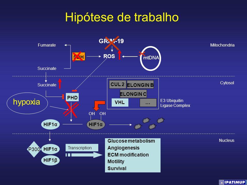 Mitochondria PHD HIF1α Cytosol Nucleus HIF1α OH OH ELONGIN B CUL 2 ELONGIN C VHL … E3 Ubiquitin Ligase Complex Fumarate Succinate SDH hypoxia Succinat