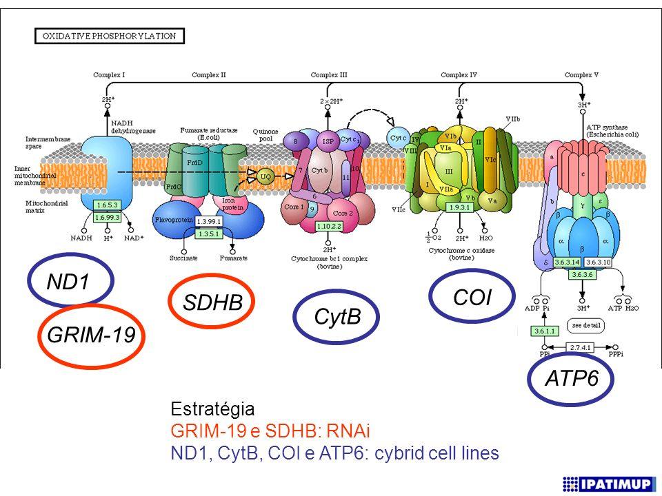 ND1 GRIM-19 SDHB CytB COI ATP6 Estratégia GRIM-19 e SDHB: RNAi ND1, CytB, COI e ATP6: cybrid cell lines