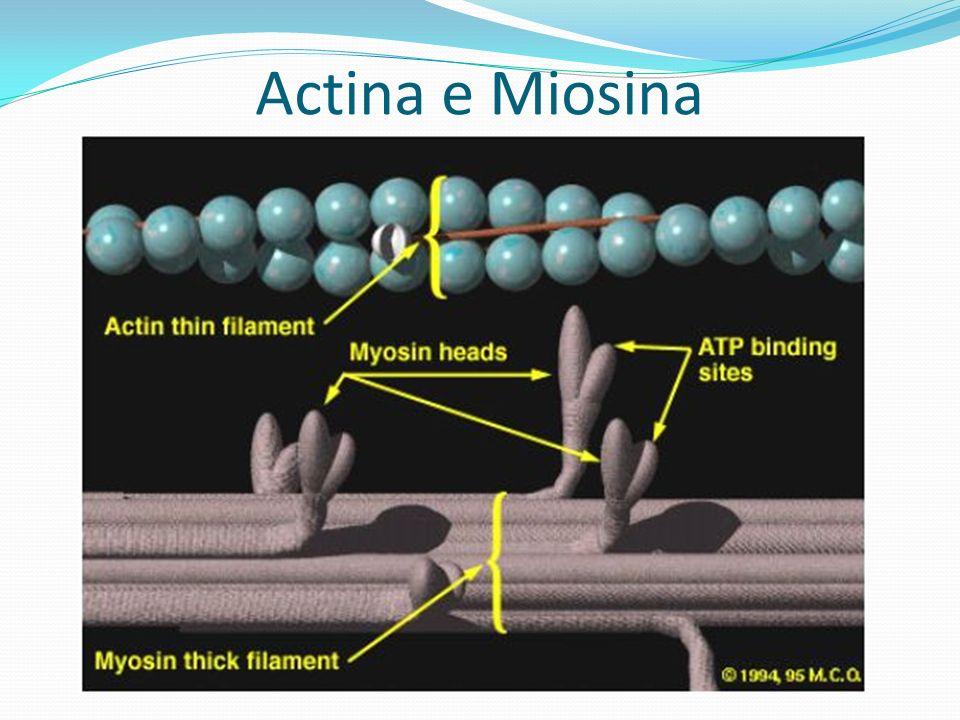 Actina e Miosina