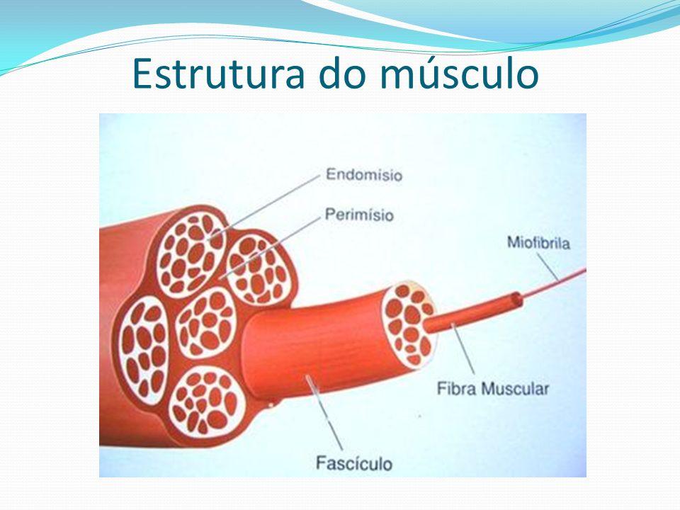 Estrutura do músculo