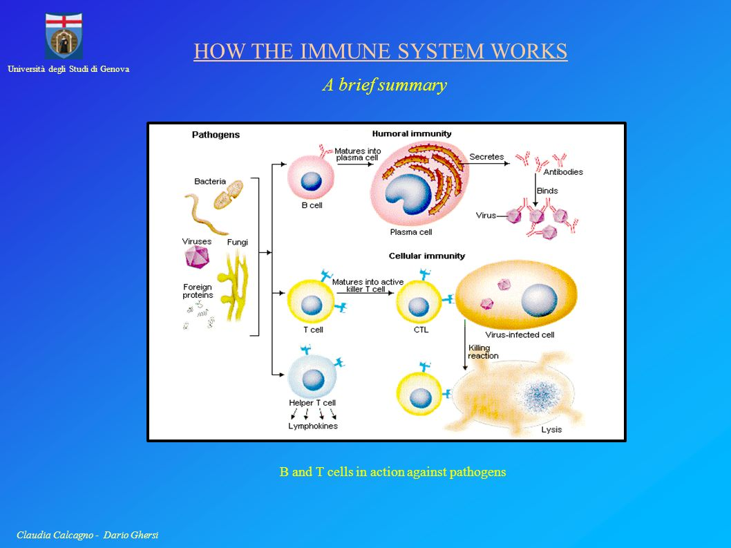 Università degli Studi di Genova Claudia Calcagno - Dario Ghersi HOW THE IMMUNE SYSTEM WORKS Memory Edward Jenner Jenner s experiments of vaccination in 1796 showed that memory is not privilege of the nervous system, but is shared by the immune system too.