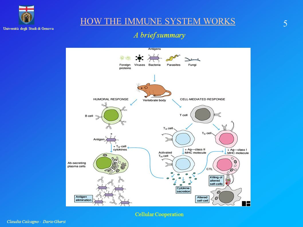 Università degli Studi di Genova Claudia Calcagno - Dario Ghersi HOW THE IMMUNE SYSTEM WORKS A brief summary 4 Antigen Presentation by APC Antigen Presentation to T cells: - Exogenous and Endogenous Bacteria, Virus: three different kind of pathogens.